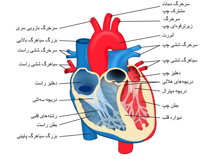 دانلود پاورپوینت آناتومی قلب